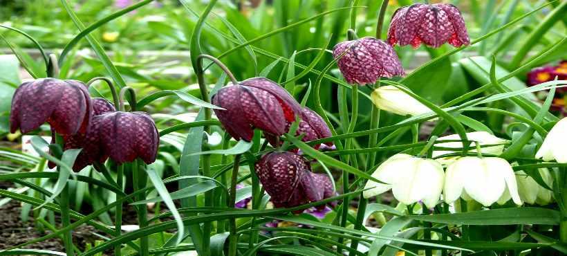 Bild von Blüten einer Schachbrettblume