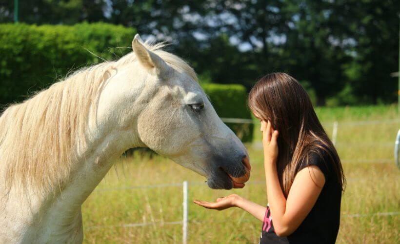 ein Mädchen hält einem weißen Pferd ein Stück Zucker vor das Maul