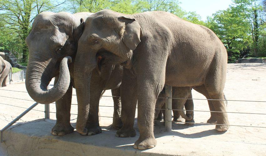 Zwei Elefanten stehen direkt nebeneinander.