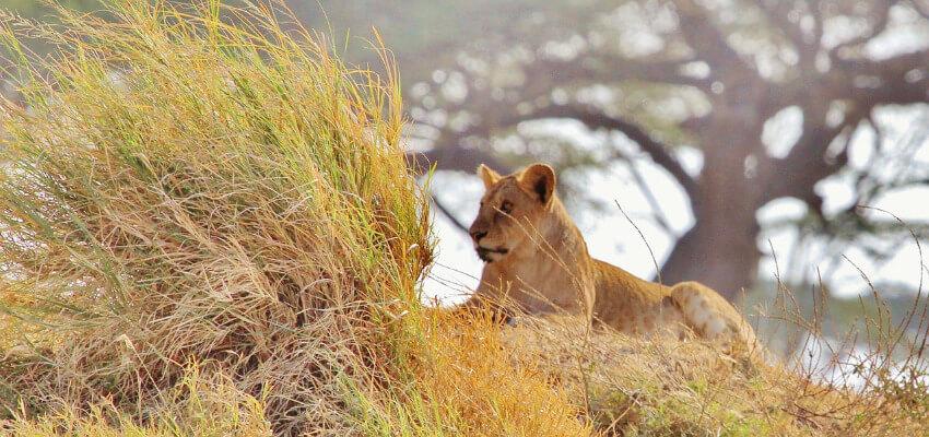 Ein Löwe liegt hinter langem ausgetrockneten Gras auf der Pirsch.