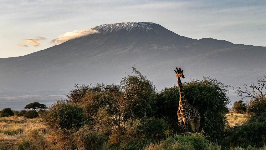 Eine Giraffe in der Savanne und Kilimandscharo mit einem Schnee bedeckten Gipfel im Hintergrund.