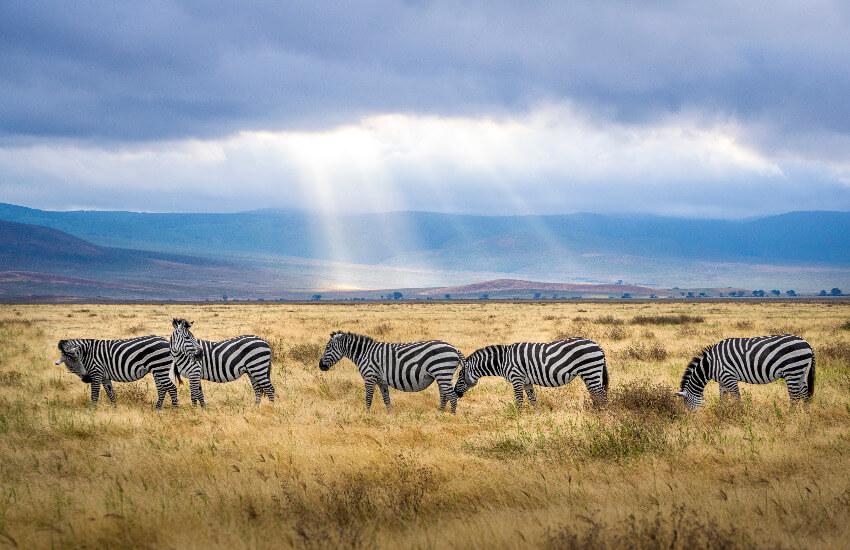 Fünf Zebras grasen in der Savanne