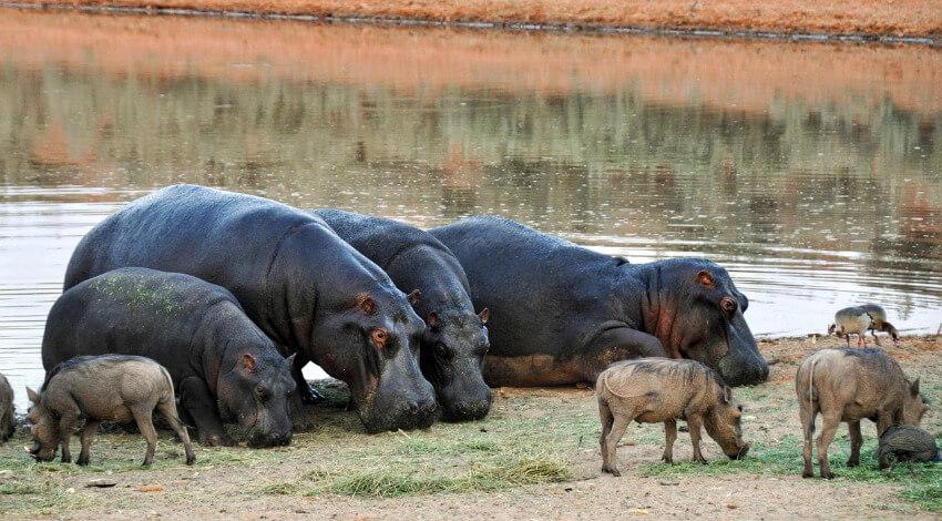 Vier ausgewachsene Flusspferde und vier Kälber an einer Wasserstelle.